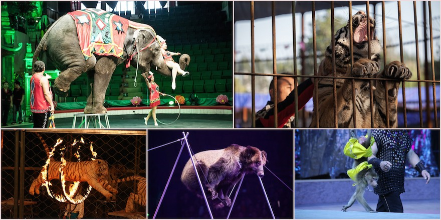 Why animals should not be in circuses
