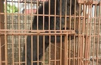 Animals Asia in mercy dash rescue as four bears die in Halong Bay