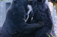 The world gets hugging for bears trapped on bile farms