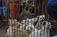 Über Animals Asias Kampagne #EndYulinFestival