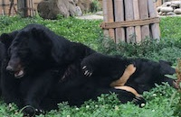 #MoonBearMonday: Two blind bears find all the love they'll ever need