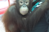 Michael the orangutan escapes cruel selfie duty