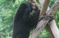 Chocolate-coloured moon bear climbs high after bile farm rescue