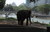 Hanoi Zoo elephants are finally unchained