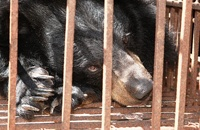 How bear bile farms leave their victims broken and blind