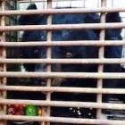 Ben Tre Rescue: third bear rescued with crane and honey