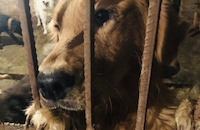 Another 171 dogs rescued as Chinese police smash illegal dog meat slaughterhouse