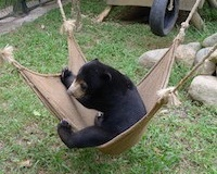 How traumatised sun bear Goldie is learning to play
