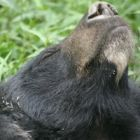 Rescue moon bear uses freedom for perfect nap