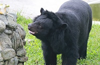 Moon bear Precious is among friends, but still hasn't learned how to trust