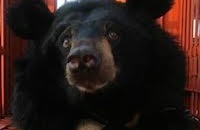 Moon bears safe on dry land after remote island rescue