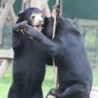 Friendship is best medicine for rescued sun bears