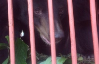 Six bears rescued from a bile farm in Vietnam
