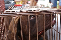 China's Yulin dog meat festival - what we know