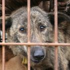 If you campaign against the dog meat trade – should you also campaign against chicken, pork and beef industries?