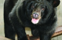 Moon bear bought to dance in a circus thrives in new life
