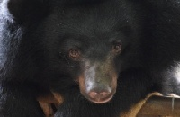 Rescued from a bile farm - nine bears now out of quarantine and ready for new lives