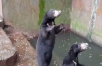 Sun bears starving in Indonesia – act now to help them