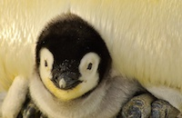 Penguin Awareness Day: The animal world's most extraordinary stay-at-home dads