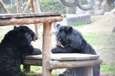 Two bears enjoy a bite to eat at the table
