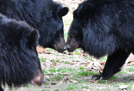 a touching moment between two bear friends
