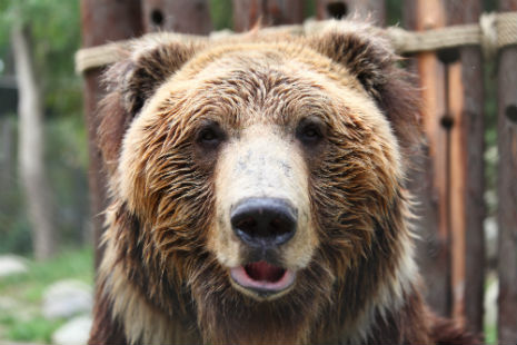 Tibetan brown bear Benji