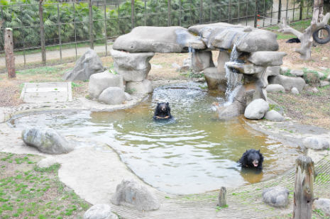 bears enjoy swimming in the sanctury pool