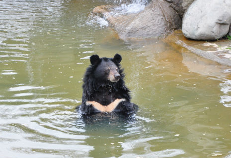 bears love swimming in the sanctury pool