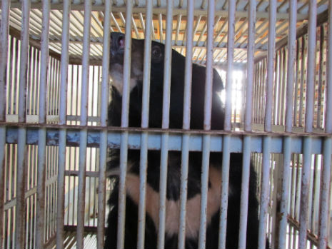 ti map in his cage in Binh thuan province