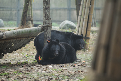 moon bear pair