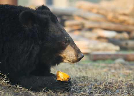 a hungry moon bear feasts on a frozen orange