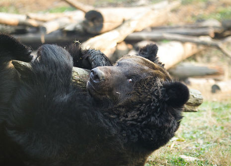 A simple stick can keep a moon bear happy for hours