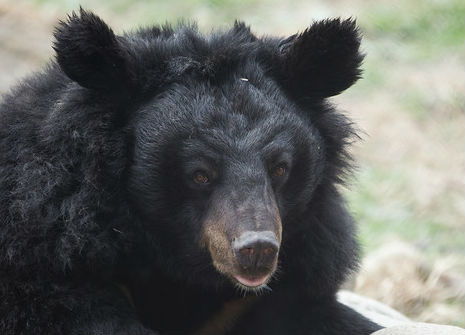 Handsome moon bear challenges the camera