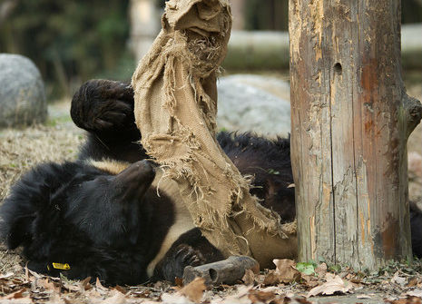 Moon bear plays with a sack