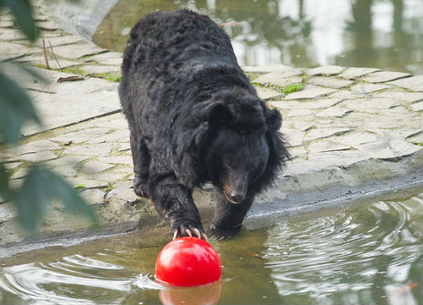 Moon bear playing with a ball in water