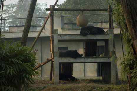Sleepy bears at Animals Asia's sanctuary