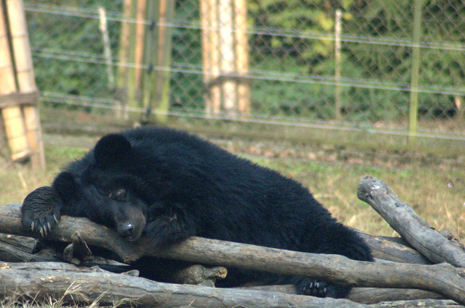 Sleeping bear at Animals Asia's Chengdu Sanctuary