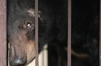 Il team di Animals Asia dice addio a un orso speciale