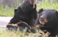 PICS: Rescued moon bear Angus just wants the sun