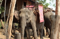 Vietnam seizing final chance to save last elephants from extinction