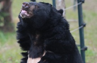 Rescued alongside Simon who died – now moon bear Sam is living for two