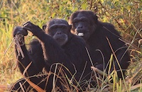 Chimpanzees on film: that's not a smile, it's a grimace