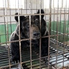 Chinese bear bile farm listing put on hold