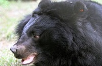 The ten coolest rescued bear names everMoon bear Derek, by Peter Yuen