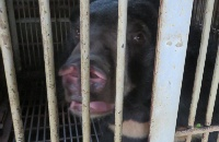 HAPPENING NOW: Animals Asia is rescuing nine bears from a bile farm in Vietnam