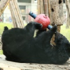 A decade on from rescue moon bear Abracadabra is having a ball