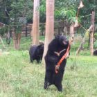 "Watch: Rescued bear works out how to get food from sanctuary ""vending machine"""