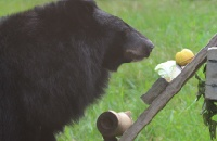 An apple a day keeps bile farm nightmares away for rescued Amara