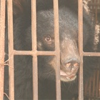 Delight as first bear is secretly rescued from Vietnam's last bile farm hotspot