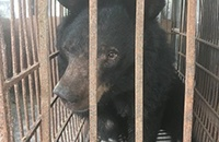 Rescued moon bear Amy is terribly weak but her beautiful personality shines through